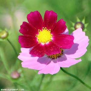 Flores cosmos roja y rosa