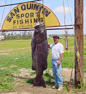 Ikan Sea Bass terbesar di dunia (tertangkap di California)