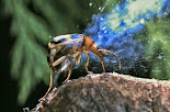 נפלאות הבריאה - החיפושית המפציצה