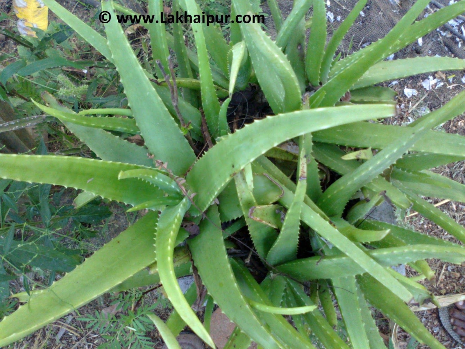 Domestic use of aloe vera all about ayurved herbs herbal medicine herbal treatment - Aloe vera plante utilisation ...