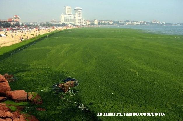 Foto Pesisir Di Qingdao, Provinsi Shandong Cina Yang Tertutup Ganggang Hijau