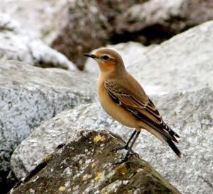Wheatear