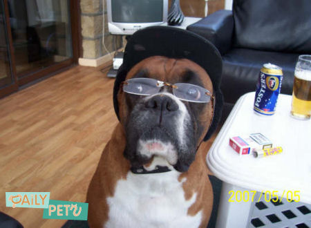 funny boxer dog pictures