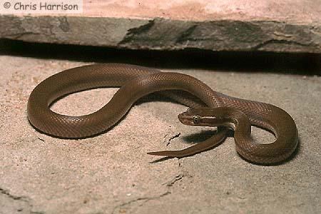 Brown House Snake Non Venom ~ planetanimalzone