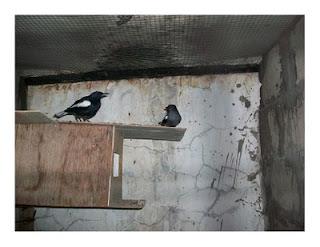 Penangkaran Burung Kacer ~ Burung-Burung di sekitar kit