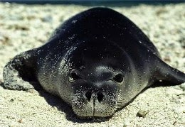 Caribbean monk seal declared extinction