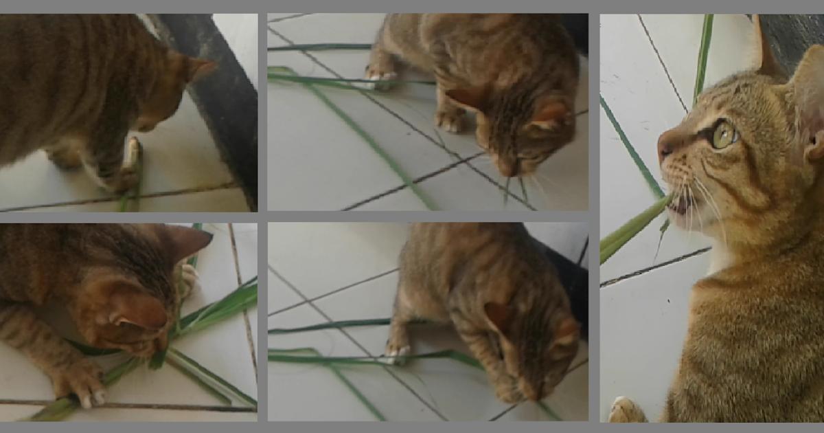 Can Cats Eat Lemongrass Leaves