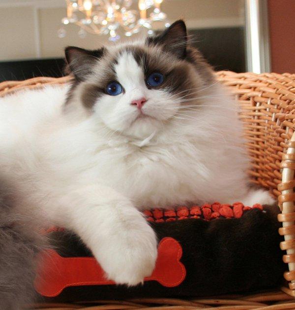 Animal Photo: Ragdoll Cats Species