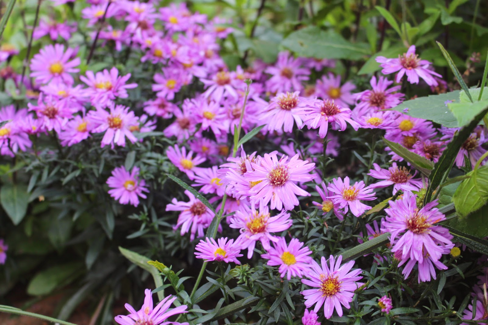 Picture of Aster novi-belgii 'Waterperry'