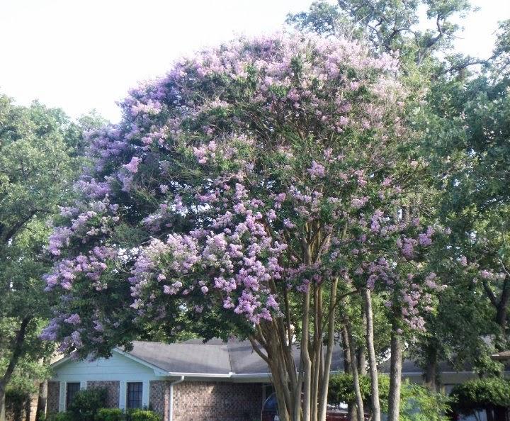 lilac crape myrtles