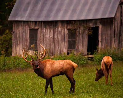Bull Elk Bugling in front of Old Clark Homestead, Lost Valley