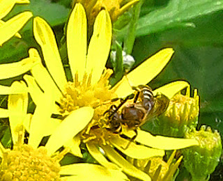 Insect (wasp?) on yellow flower