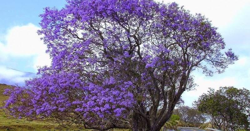 Q 39 planta essa jacarand de minas for Planta ornamental jacaranda