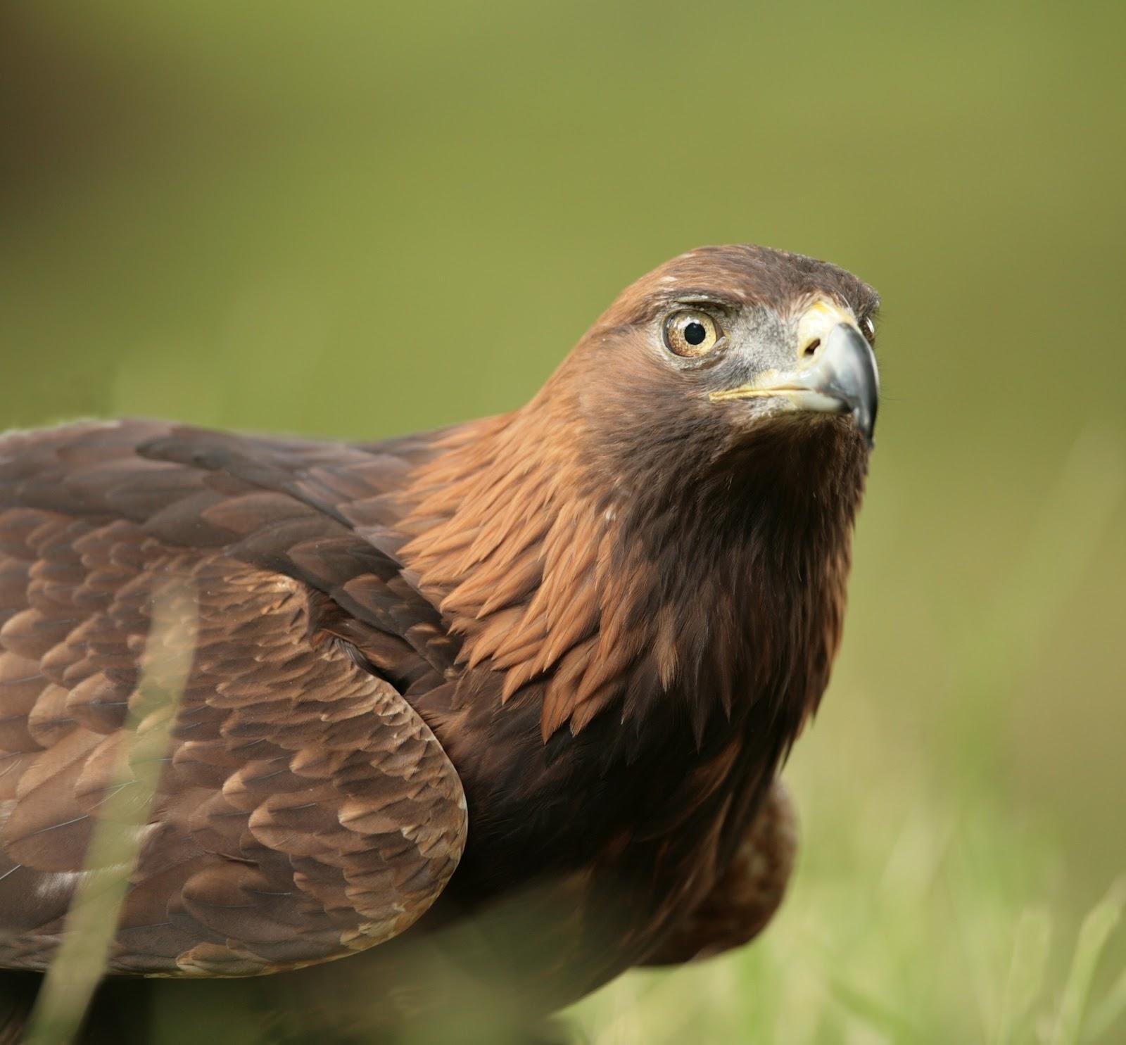 golden eagle Golden eagle charter school 2405 s mt shasta blvd, #3 mt shasta, ca  96067 view map & directions phone: (530) 926-5800 fax: (530) 926-5826.