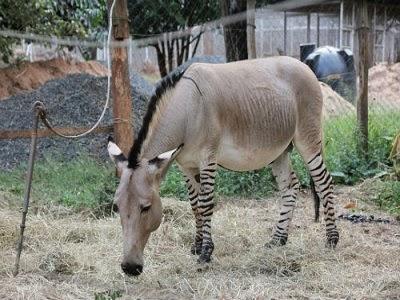 10 incríveis animais híbridos que existem de verdade