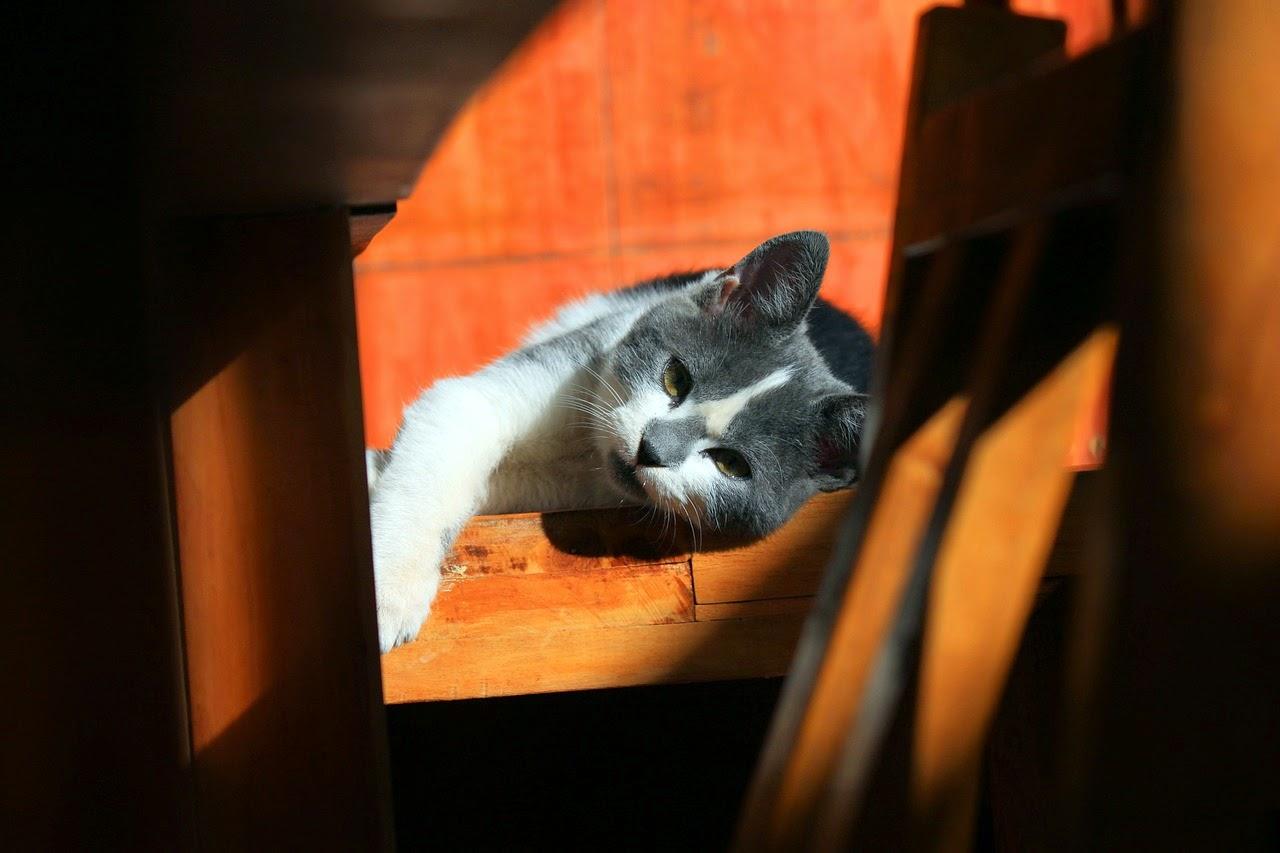 New mascota c mo cuidar a un gato con sida vif for El sida se contagia por saliva