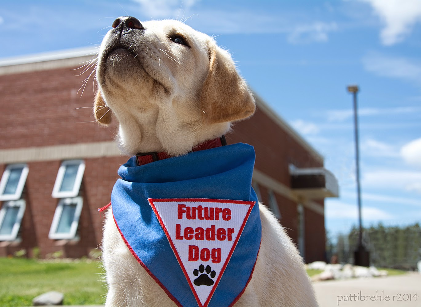 A small yellow lab puppy is sitting down and gazing up into the bright blue sky. She is wearing the blue Future Leader Dog bandana. Behind her is the brick building of the Pike Unit.