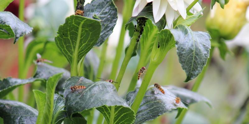 svirreflue, blomsterbi