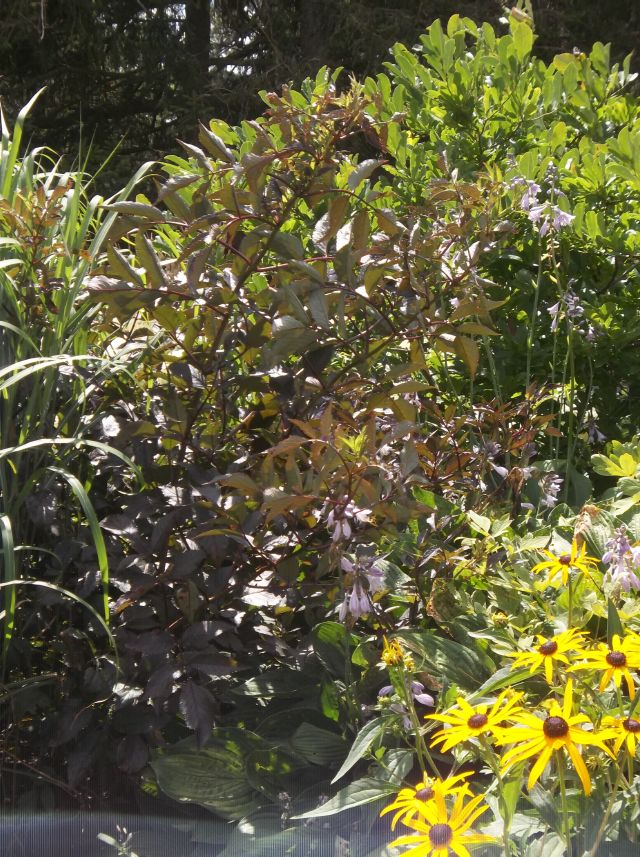 future plants by randy stewart elderberry sambucus. Black Bedroom Furniture Sets. Home Design Ideas