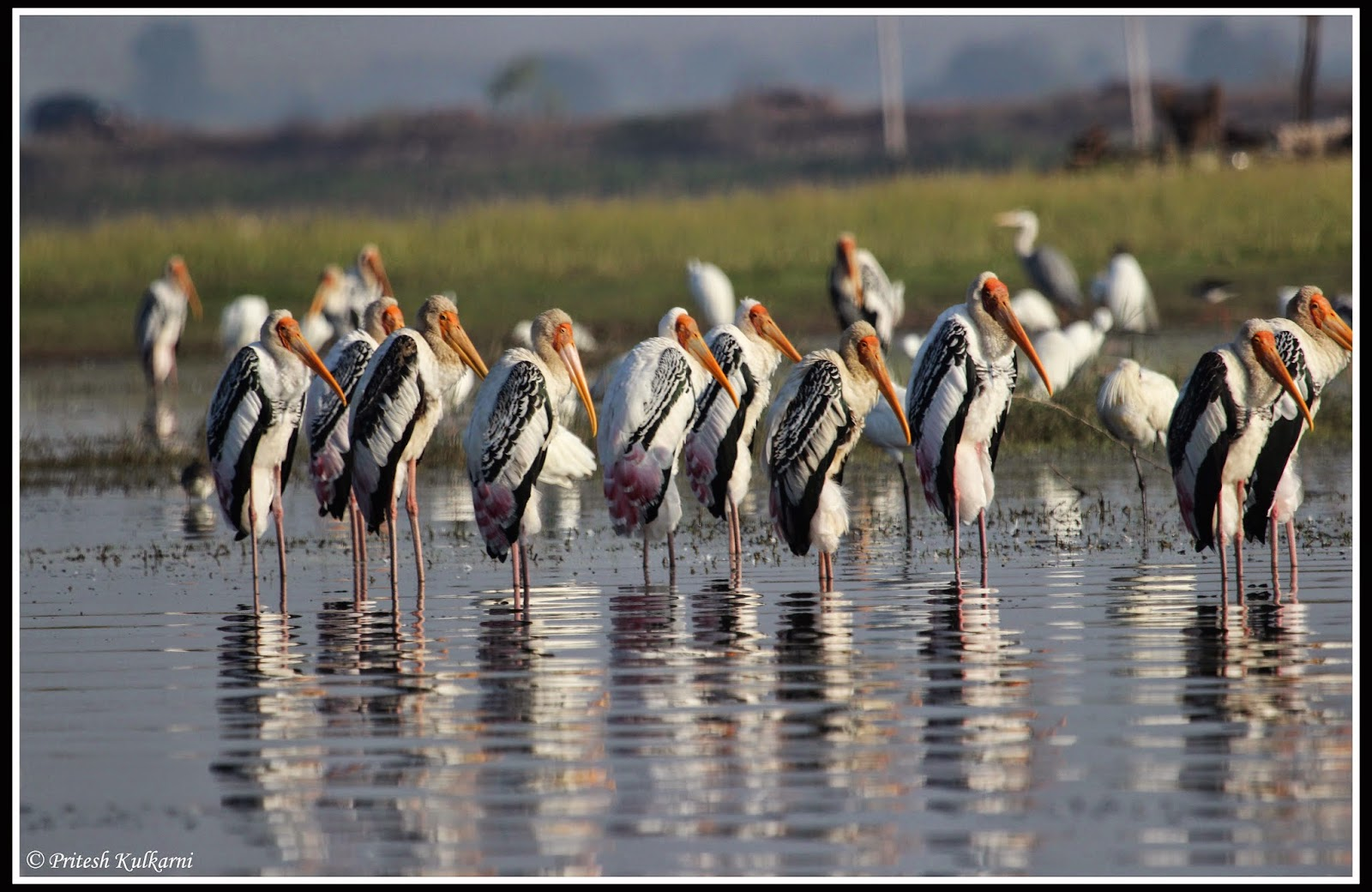 Painted stork colony  at bhigwan