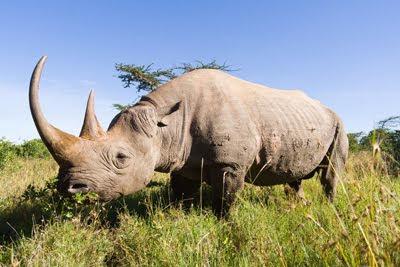 Animales presenta rinoceronte de africa en la sabana