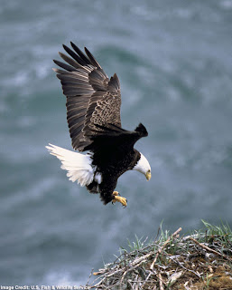 Foto Burung Rajawali