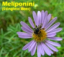honey, propolis and bee pollen contain apigenin