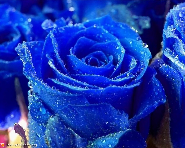 Indigo Roth rose for valentine's day