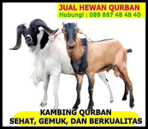Jual Kambing Qurban Di Demak