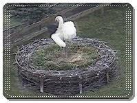 Gniazdo bociana białego