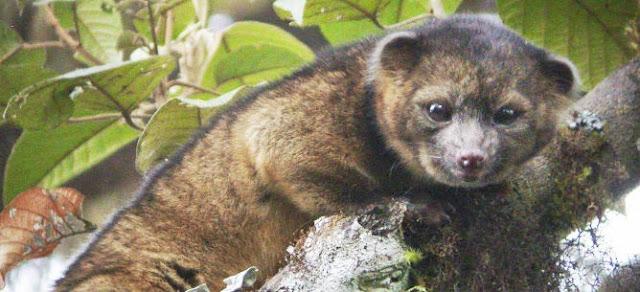 Científicos descubren un nuevo carnívoro en América Cientificos-Instituto-Smithsonian-descubren-nueva-especie-olinguito