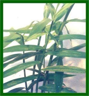 khasiat bengle, manfaat tanaman bengle