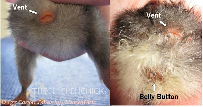 Normal chick vent vs belly button.