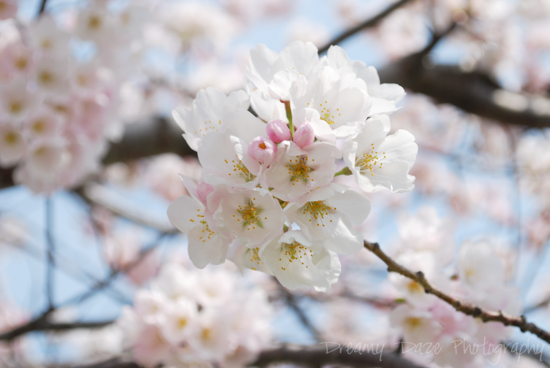toronto exhibition place cherry blossoms spring peak season floral flowers blooms park