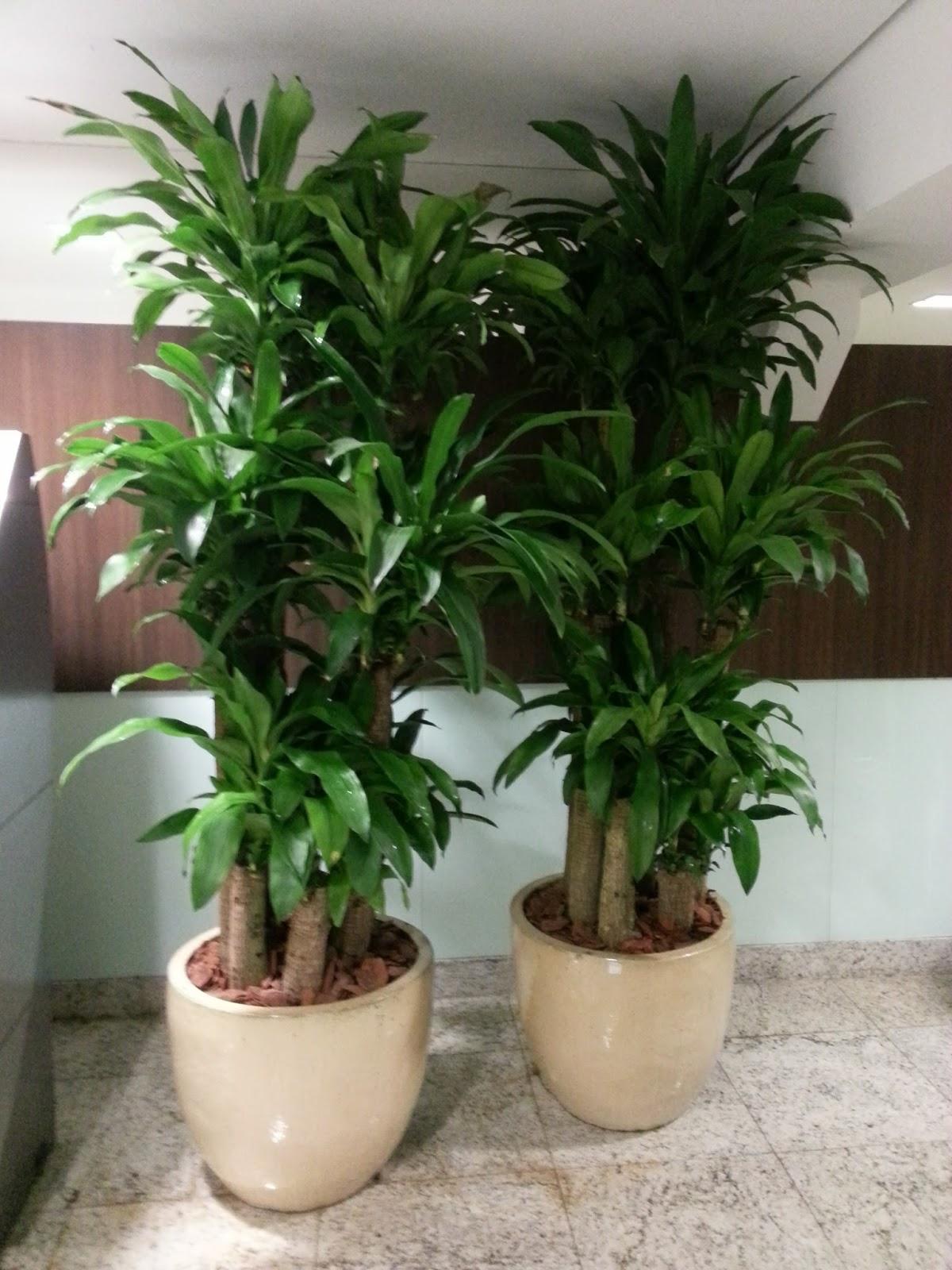 Boa vista plantas ornamentais dracena fragrans pau d 39 agua for Plantas de interior duraderas