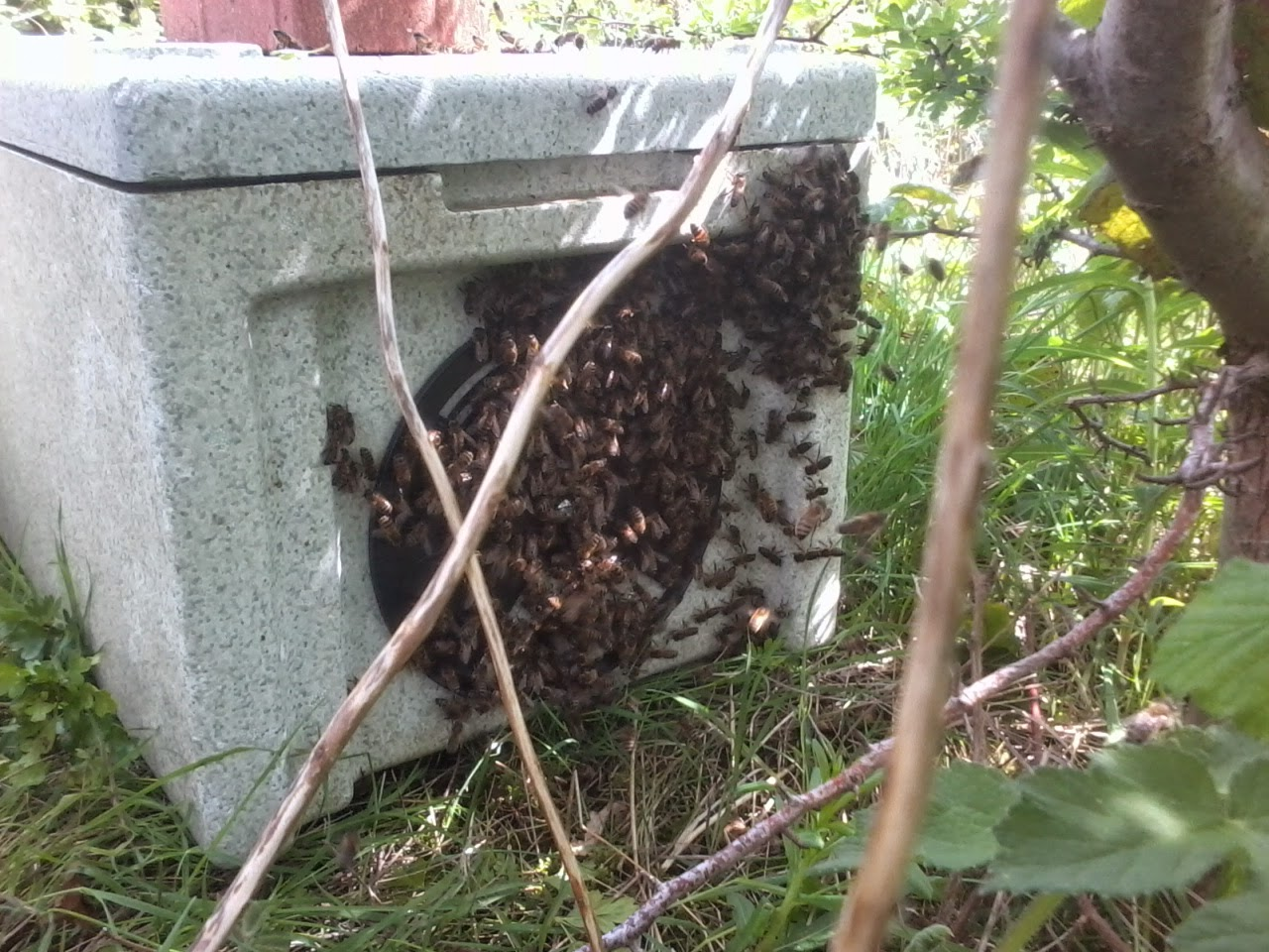 Nuc with bees on outside 'fanning' to let other bees know where the queen is.