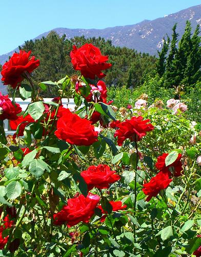 I Love Rose Rose Garden