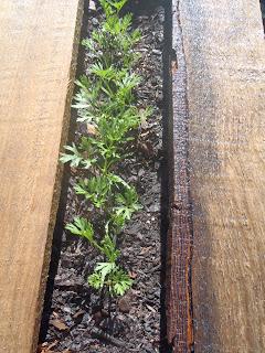 carrots pallet garden