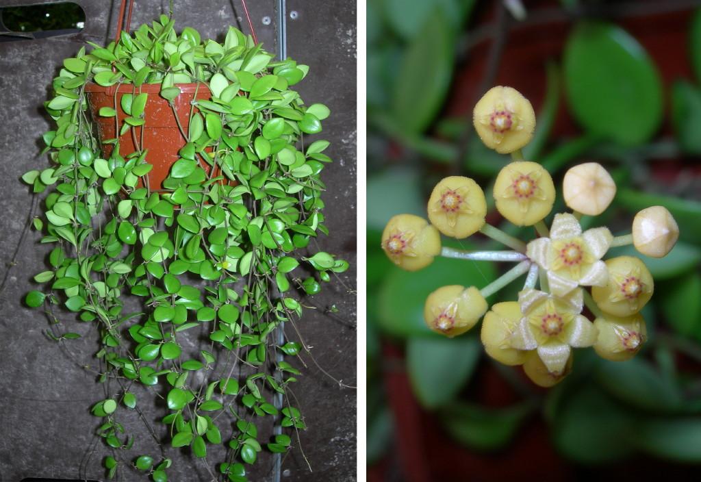 Viveros vangarden hoyas varias - Variedades de plantas de interior ...