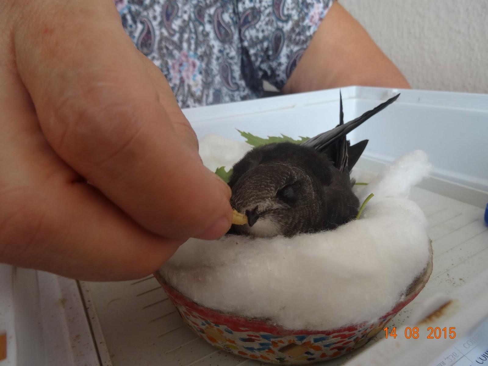 Как кормить птенца вороны в домашних условиях 51