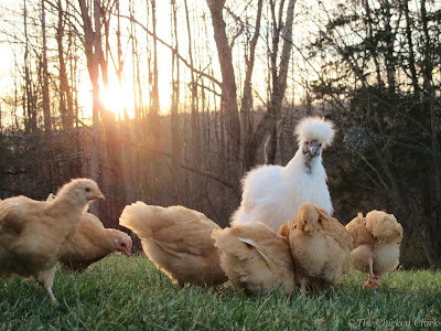 A broody hen will generally begin to distance herself from her brood approximately 5 or 6 weeks after hatching. She can begin egg-laying any time thereafter.