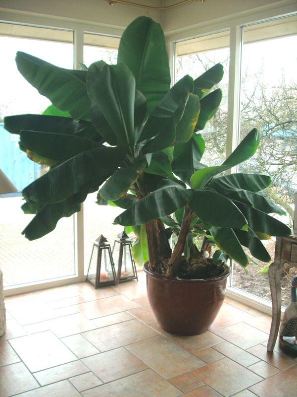 Te koop grote mooie bananenplant grote mooie bananenboom for Grote visvijver te koop