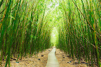 Bamboo Forest Maui1