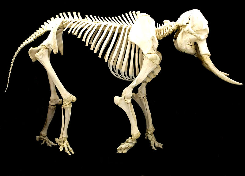 Elephant Skeleton Diagram http://terriermandotcom.blogspot.com/2011_03_01_archive.html