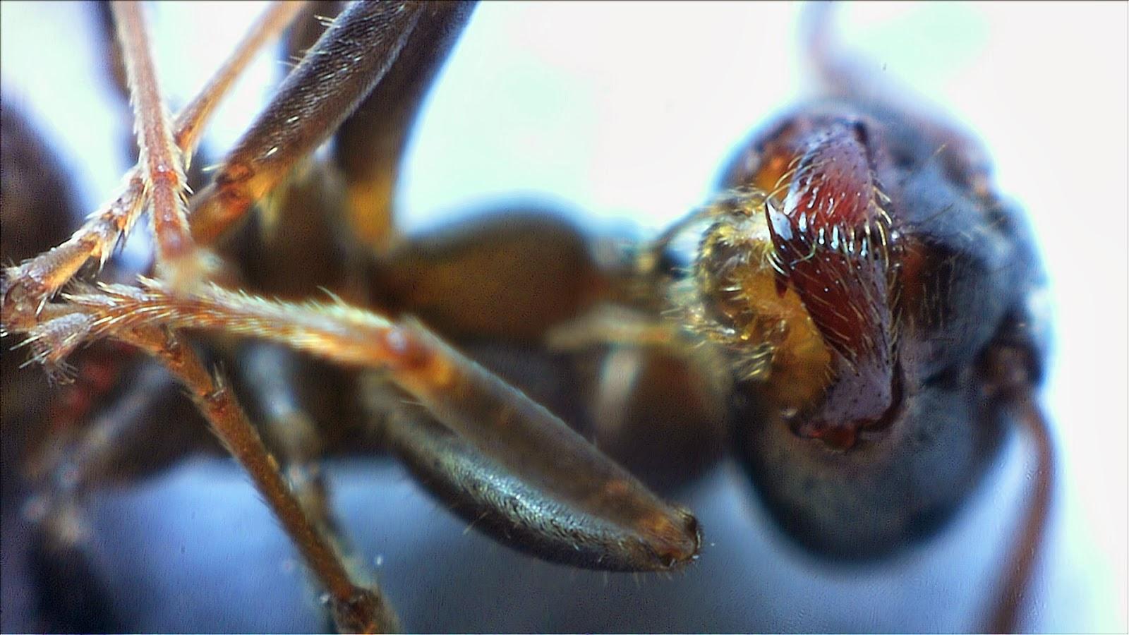 Głowa mrówki web kamerą - MS Lifecam studio
