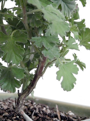 Ardwick Cinnamon Scented Pelargonium - woody stem, bark and leaves