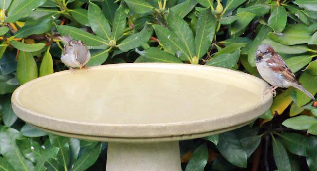 house sparrows on bath