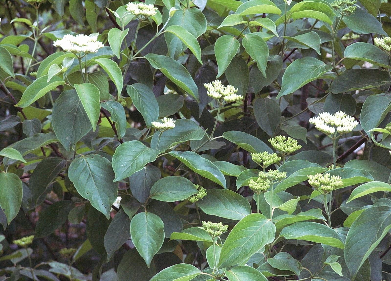 Pinelands Nursery Cornus Amomum Silky Dogwood