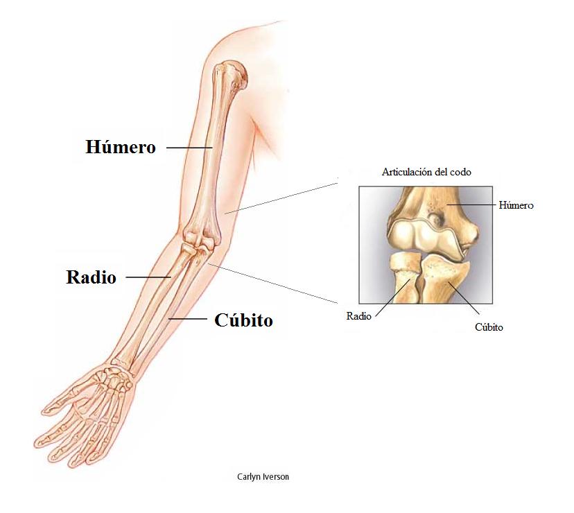 Anatomía: El Cúbito