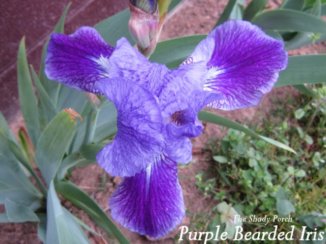 Purple Bearded Iris at The Shady Porch